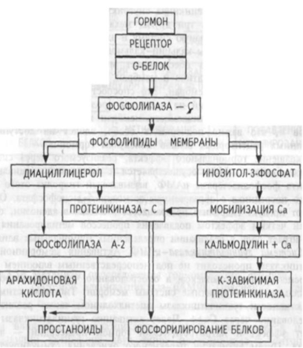 Функции верхних бугров четверохолмия