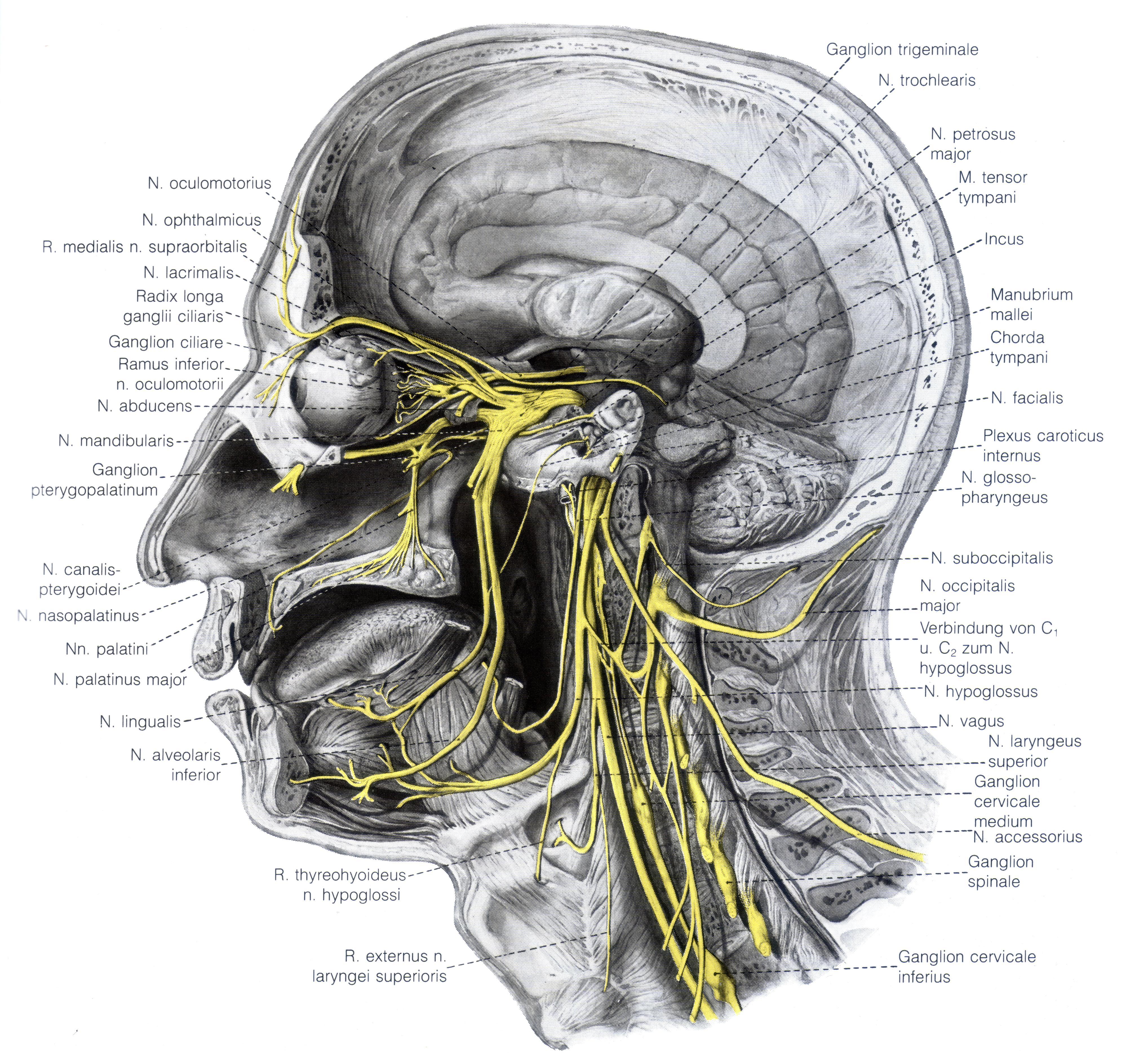 шея нервы с картинками галлов