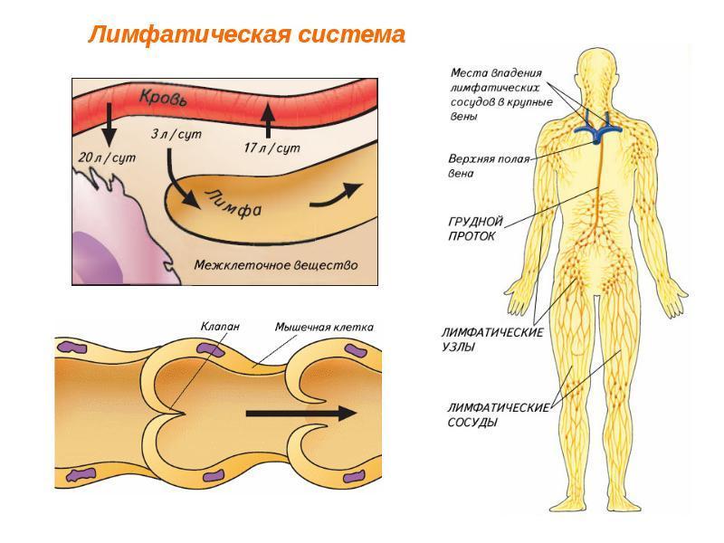 Картинка строение лимфатической системы человека