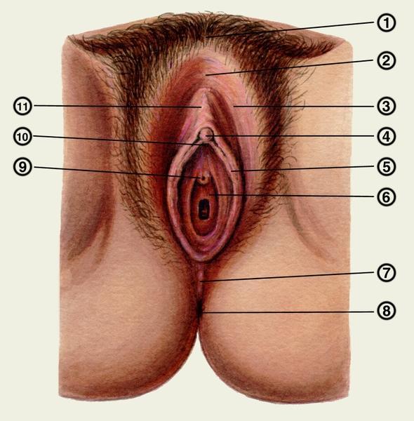 показать половой орган женщин проявляеться половых