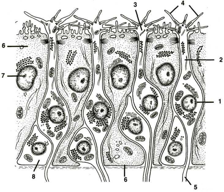 предлагаем обонятельный эпителий картинки оптимальное решение классический