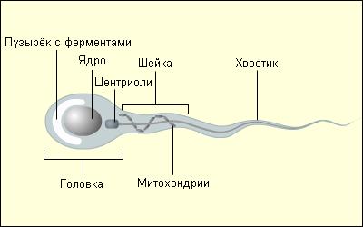 У сперматозойда нет хвоста