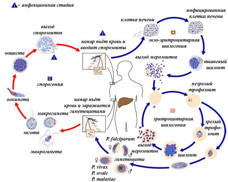 3. Жизненный цикл малярийных плазмодиев. Пути и источники заражения.