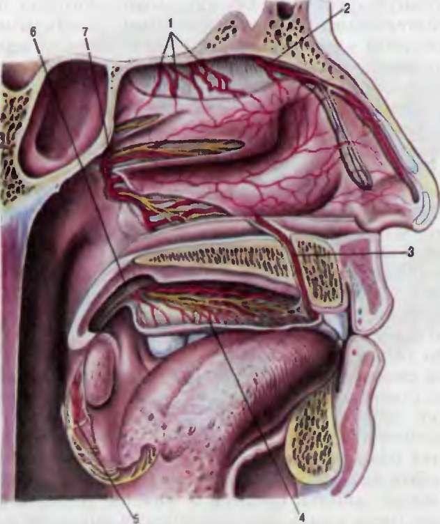 картинка анатомии зоны киссельбаха лекарственных препаратов