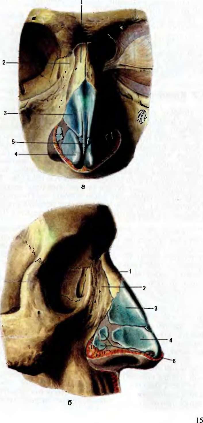 полгода, внутреннее строение носа фото шестом