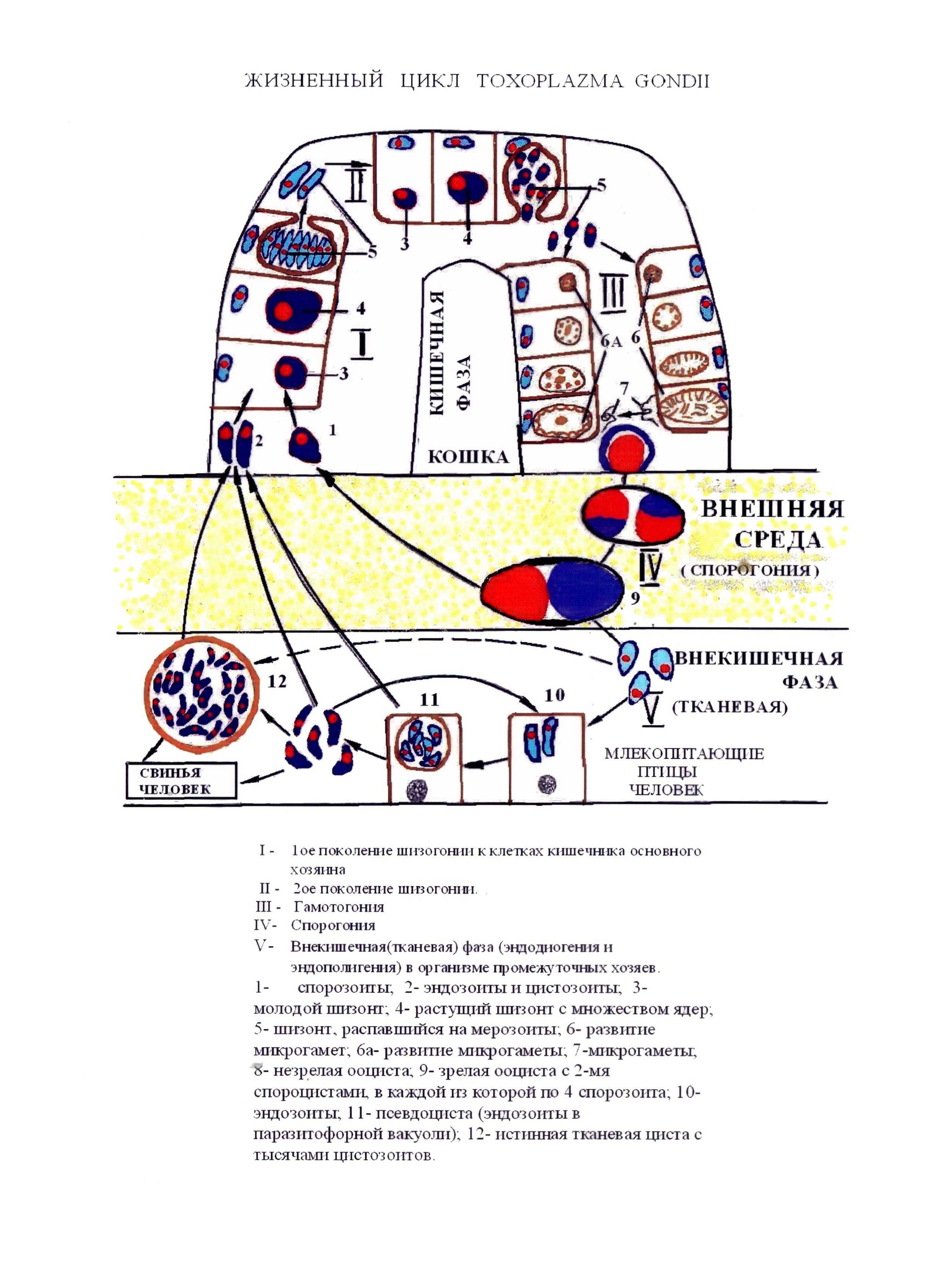 Жизненный цикл балантидия схема