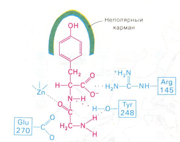 Действие карбоксипептидазы на пептиды стероиды-их