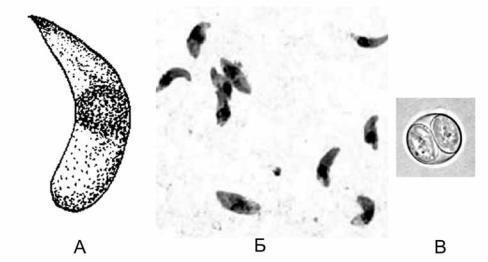 a toxoplazma a parazitáról szól