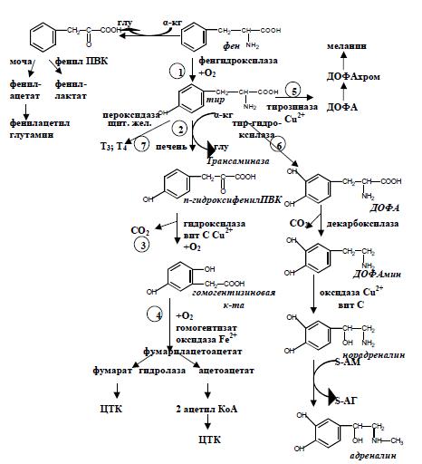 схема обмена фенилаланина и тирозина