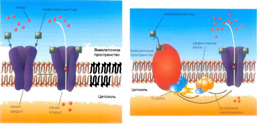 Метаботропные рецепторы картинки
